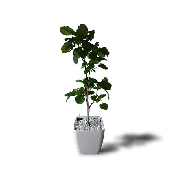 FOLIAGE PLANT | 観葉植物