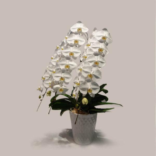 福岡の上質な胡蝶蘭ギフト