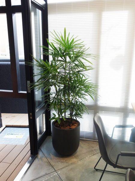 福岡の観葉植物シュロチク