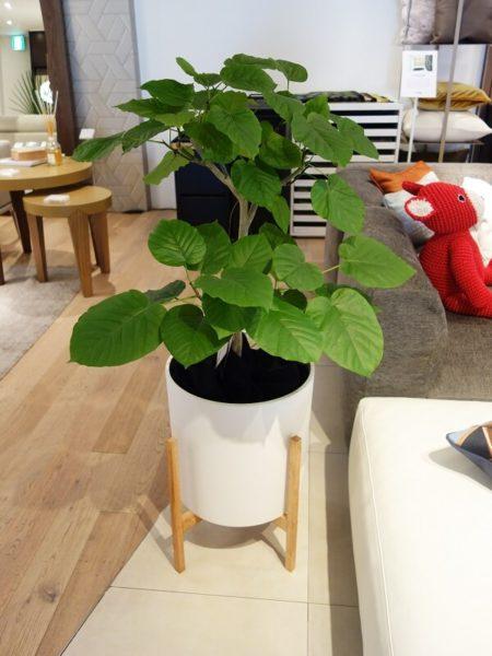 福岡の観葉植物ウンベラータ