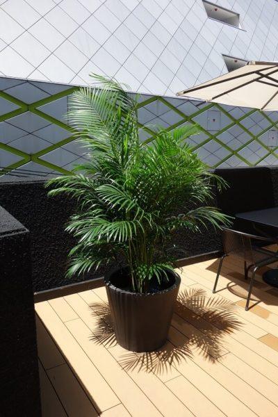 福岡の観葉植物アレカヤシ