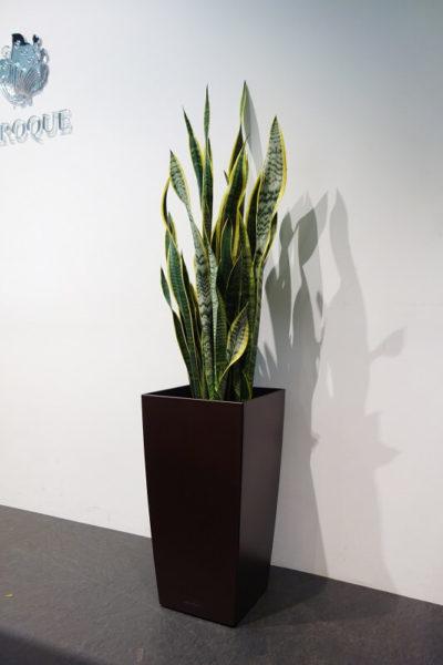 福岡の観葉植物サンスベリア